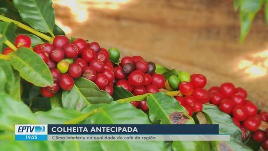 Produtores de café já começam a colher grãos, mas se preocupam com a qualidade no Sul de MG