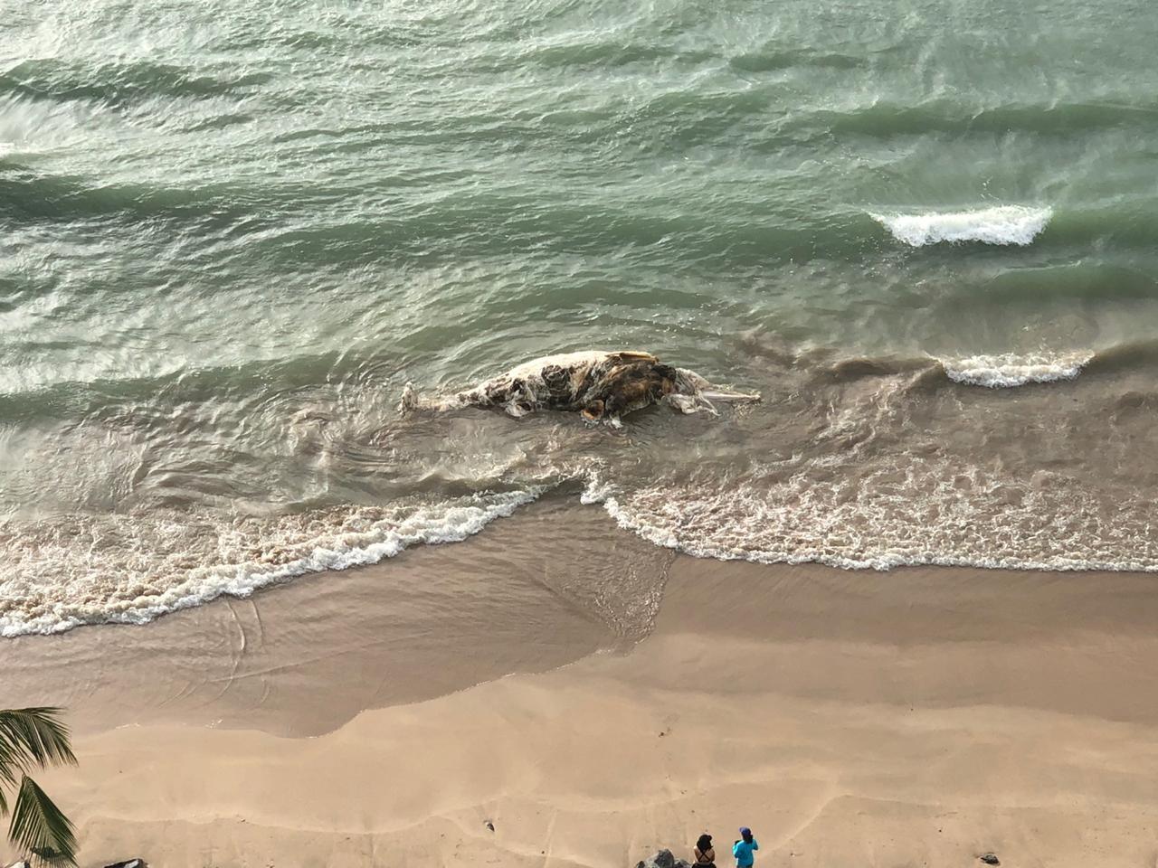 Baleia é encontrada morta na praia de Boa Viagem, na Zona Sul do Recife