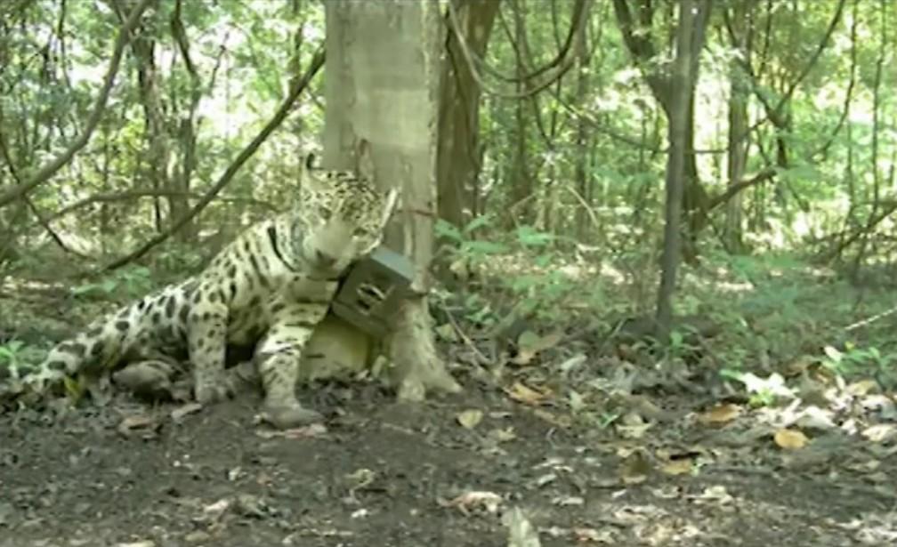 Pesquisadores do Instituto Mamirauá registraram uma onça na Reserva interagindo com os equipamentos — Foto: Divulgação Instituto Mamirauá