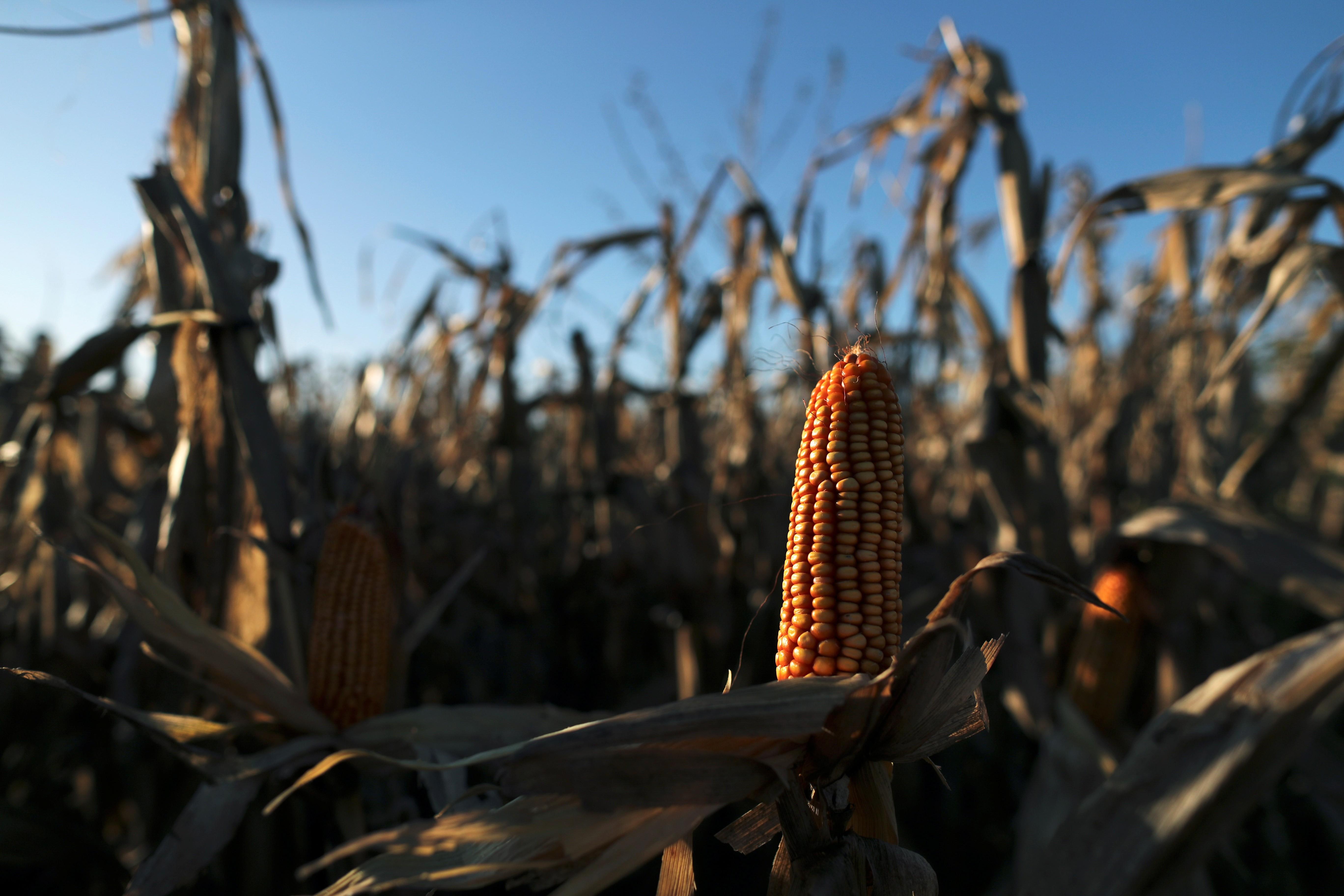 Lavoura de milho em Chivilcoy, Argentina (Foto: Agustin Marcarian/Reuters)