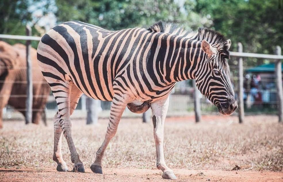 Zebra Tucha, do Zoológico de Brasília, morreu aos 25 anos — Foto: Ivan Mattos/Zoológico de Brasília