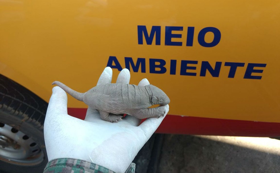 Recém-nascido, filhote de tatu encontrado em bairro de Uberlândia neste sábado (2) ainda não abriu os olhos (Foto: PM de Meio Ambiente/Divulgação)