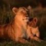 Papel de Parede: African Lioness