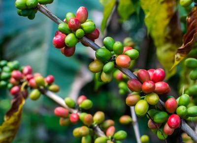cafe-cafezal-planta (Foto: Thinkstock)