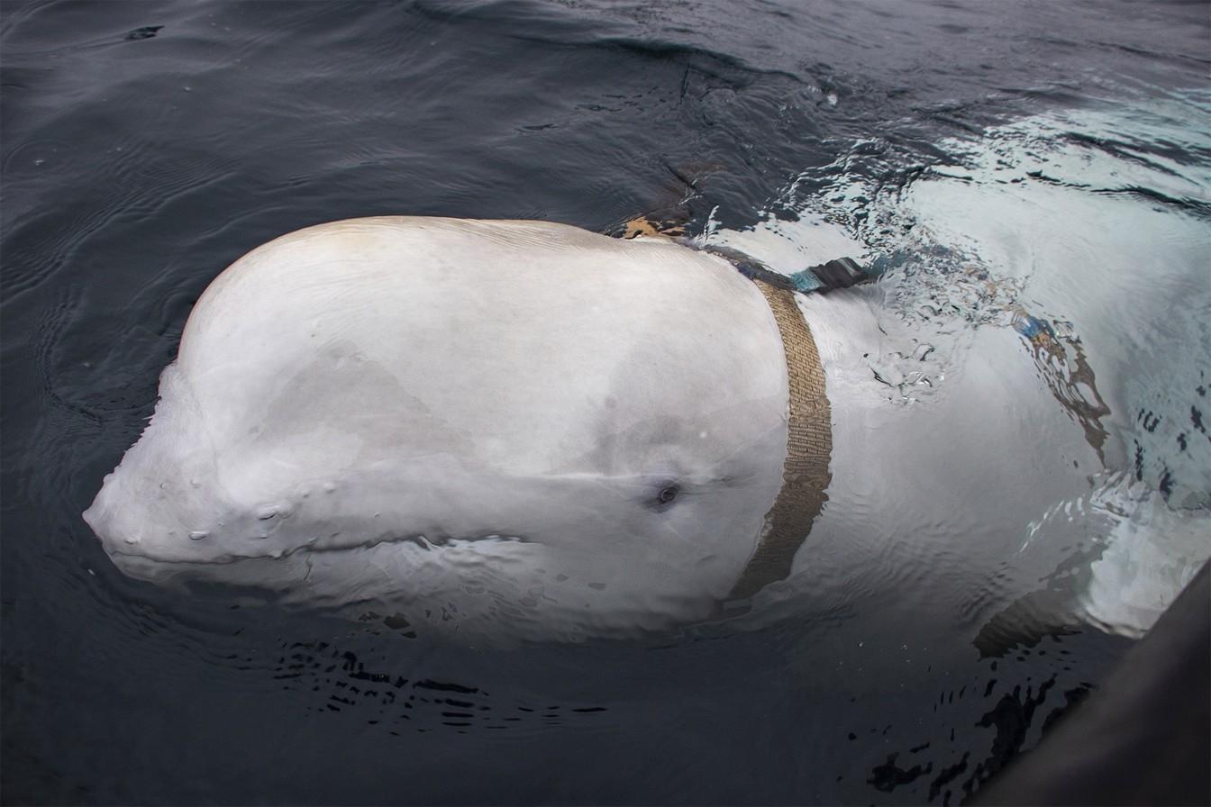 Baleia beluga pode ser espiã russa, suspeitam cientistas (Foto: Norwegian Direcorate of Fisheries Sea Surveillance Unit )