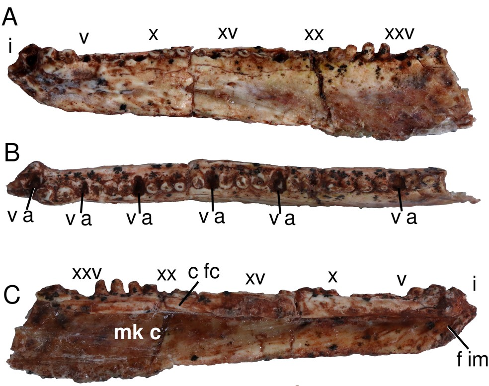 Ossos encontrados do crânio do Karutia fortunata — Foto: Reprodução