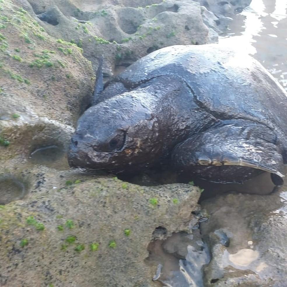 Tartaruga com óleo encontrada no Pontal de Coruripe, AL — Foto: Felipe Santos/Projeto Praia Limpa