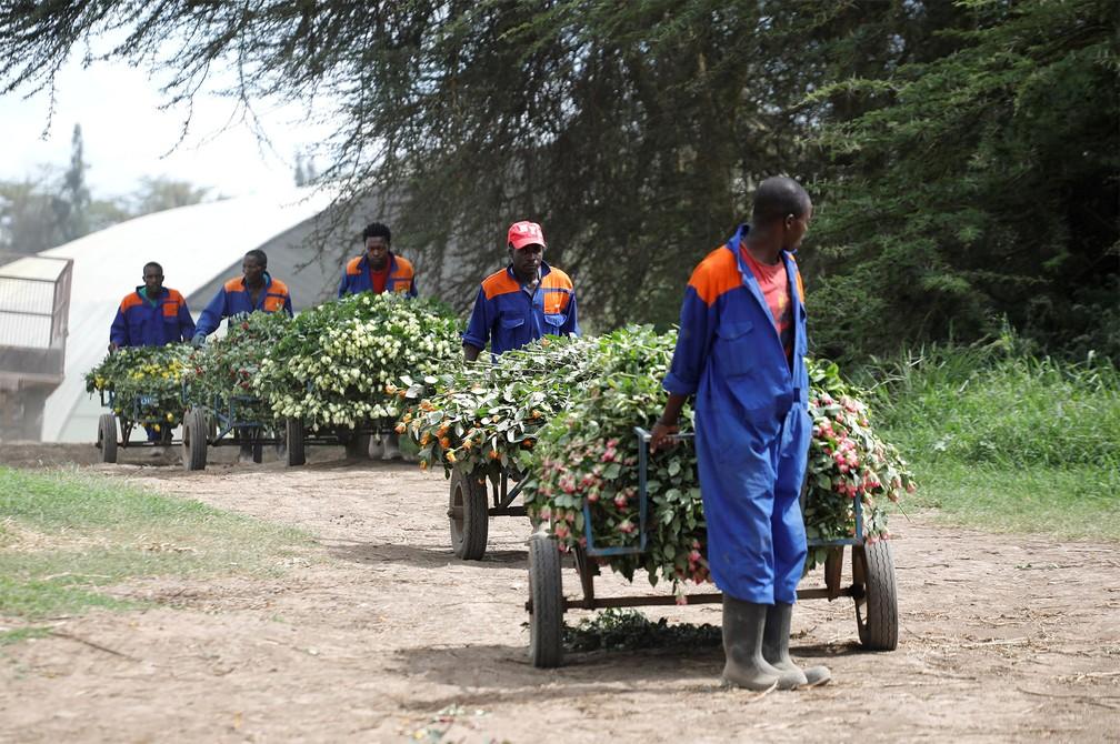 19 de março - Trabalhadores levam carrinhos cheios de rosas a serem descartadas já que não poderão ser enviadas à Europa devido à pandemia de coronavírus, em uma fazenda de flores em Naivasha, no Quênia — Foto: Baz Ratner/Reuters