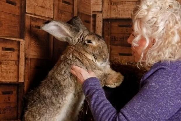 Maior coelho do mundo é roubado e dona oferece R$ 7,7 mil de recompensa (Foto: Reprodução/Twitter)