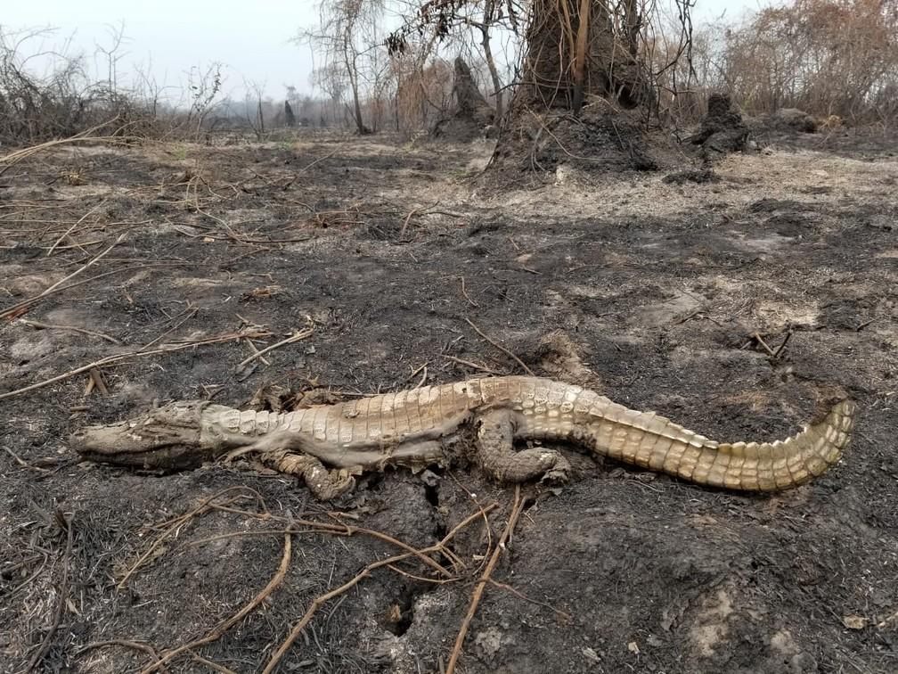 Jacaré queimado no Pantanal — Foto: Christine Strussmann/Arquivo Pessoal