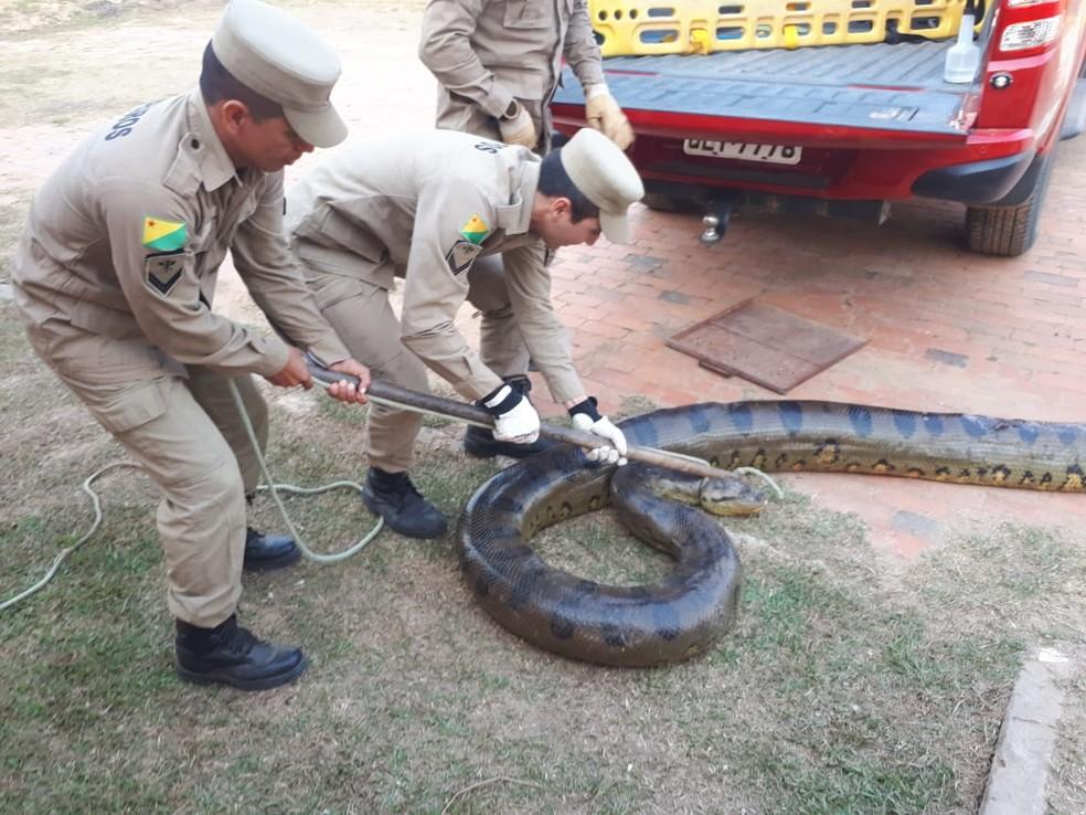 Animal já estava imobilizado quando bombeiros chegaram e fizeram a captura — Foto: Ascom/Corpo de Bombeiros do Acre