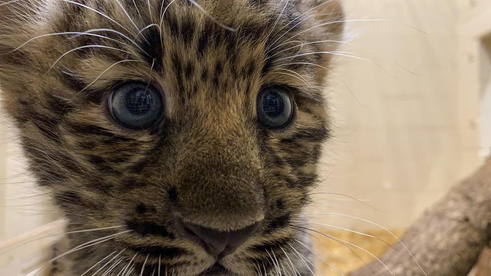 Os dois filhotes – um macho e uma fêmea – ainda não têm nome, que deverão ser escolhidos por meio de votação — Foto: Divulgação/Rosamond Gifford Zoo