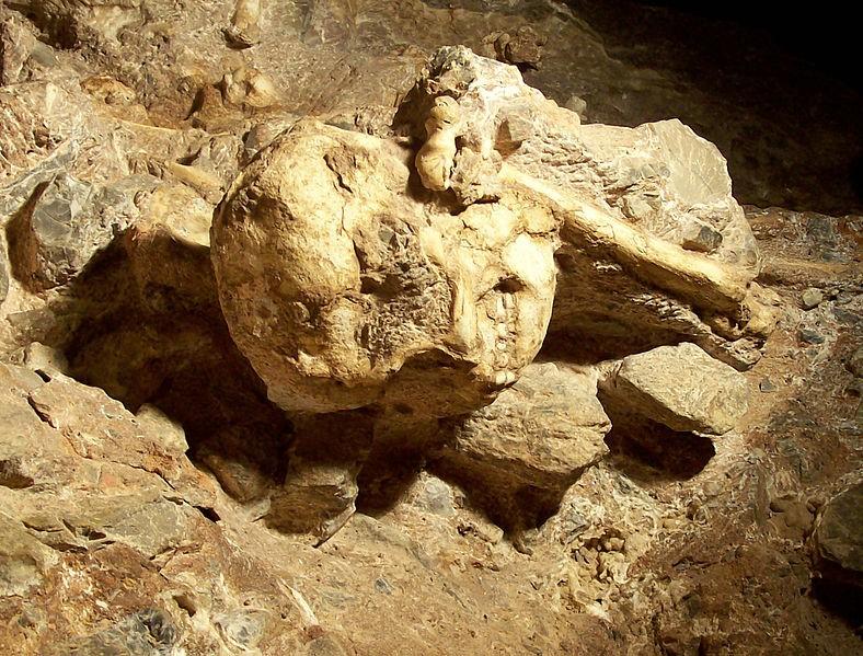 """Detalhe do crânio da """"pé-pequeno"""" ainda na caverna de Sterkfontein, em novembro de 2006. (Foto: Creative Commons / V. Mourre)"""