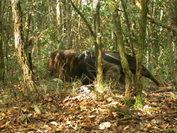 Tamanduá bandeira é ameaçado de extinção e foi encontrado em 45% das áreas analisadas por biólogos da USP (Foto: Reprodução/Projeto ocupação da paisagem do nordeste de São Paulo)