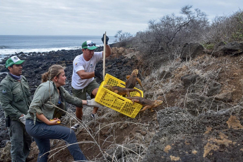 Iguanas são reintroduzidas em ilha de Galápagos após desaparecerem por quase 200 anos