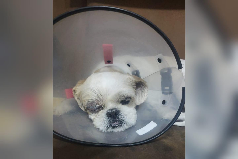 Cão passa por cirurgia após ser agredido com pauladas em Sorocaba