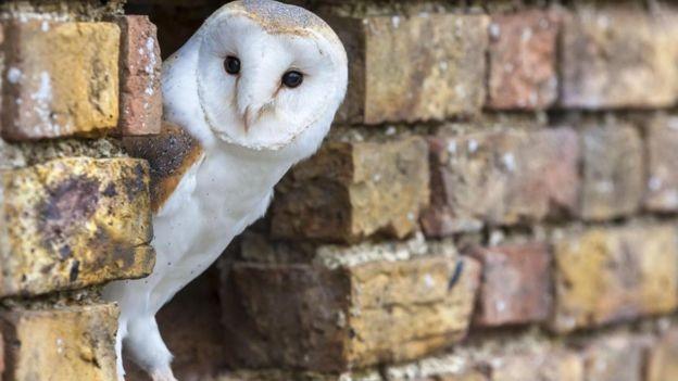 Houve um aumento de crimes envolvendo roubo de aves de caça no Reino Unido (Foto: Getty Images via BBC)