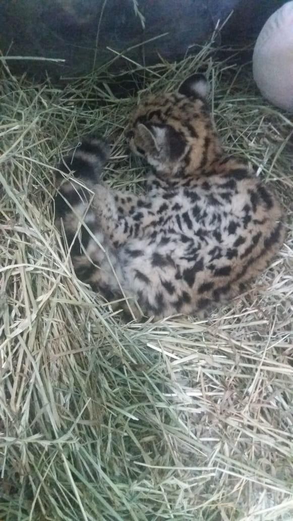 Filhote de gato-do-mato maracajá é resgatado no Oeste catarinense