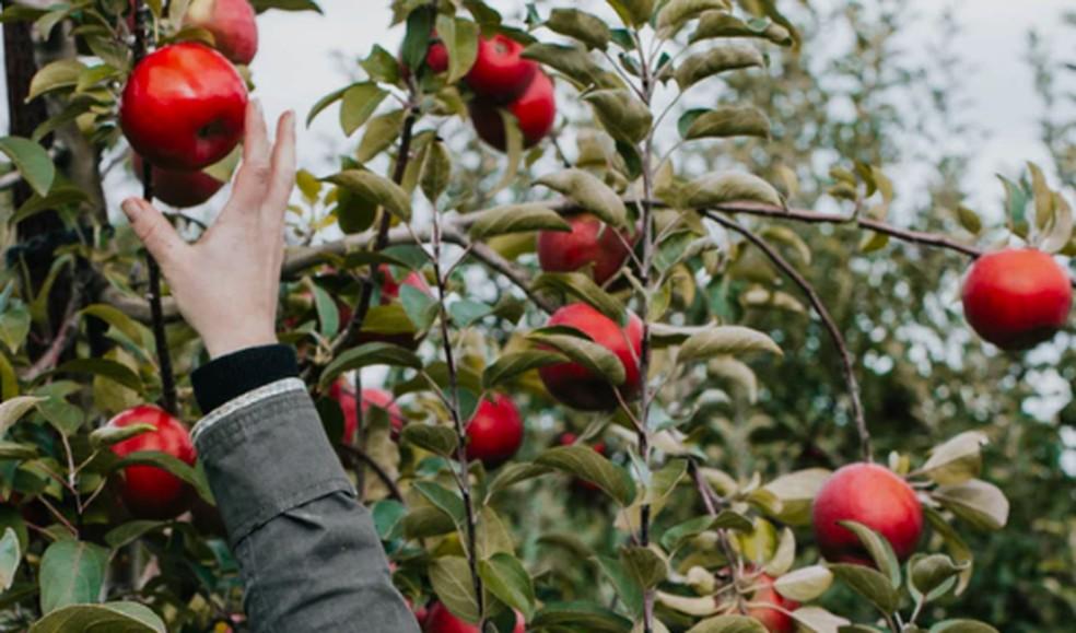 'Popularização' da maçã teve início cerca de 4,5 mil anos atrás — Foto: Jenny Russell/Unsplash