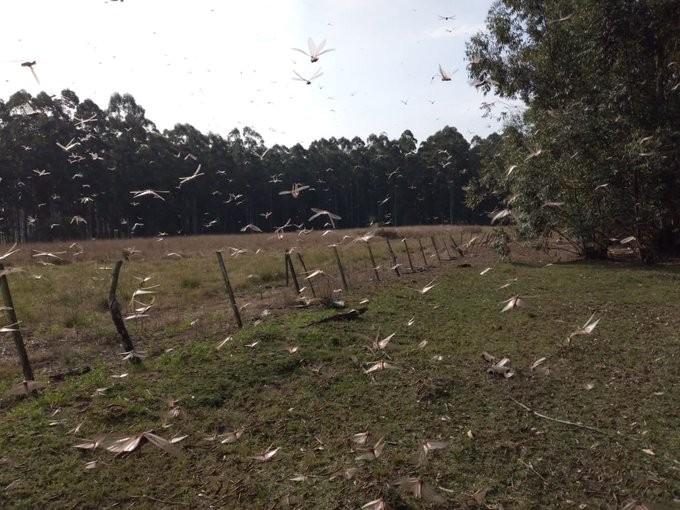 Governo argentino é informado sobre quarta nuvem de gafanhotos