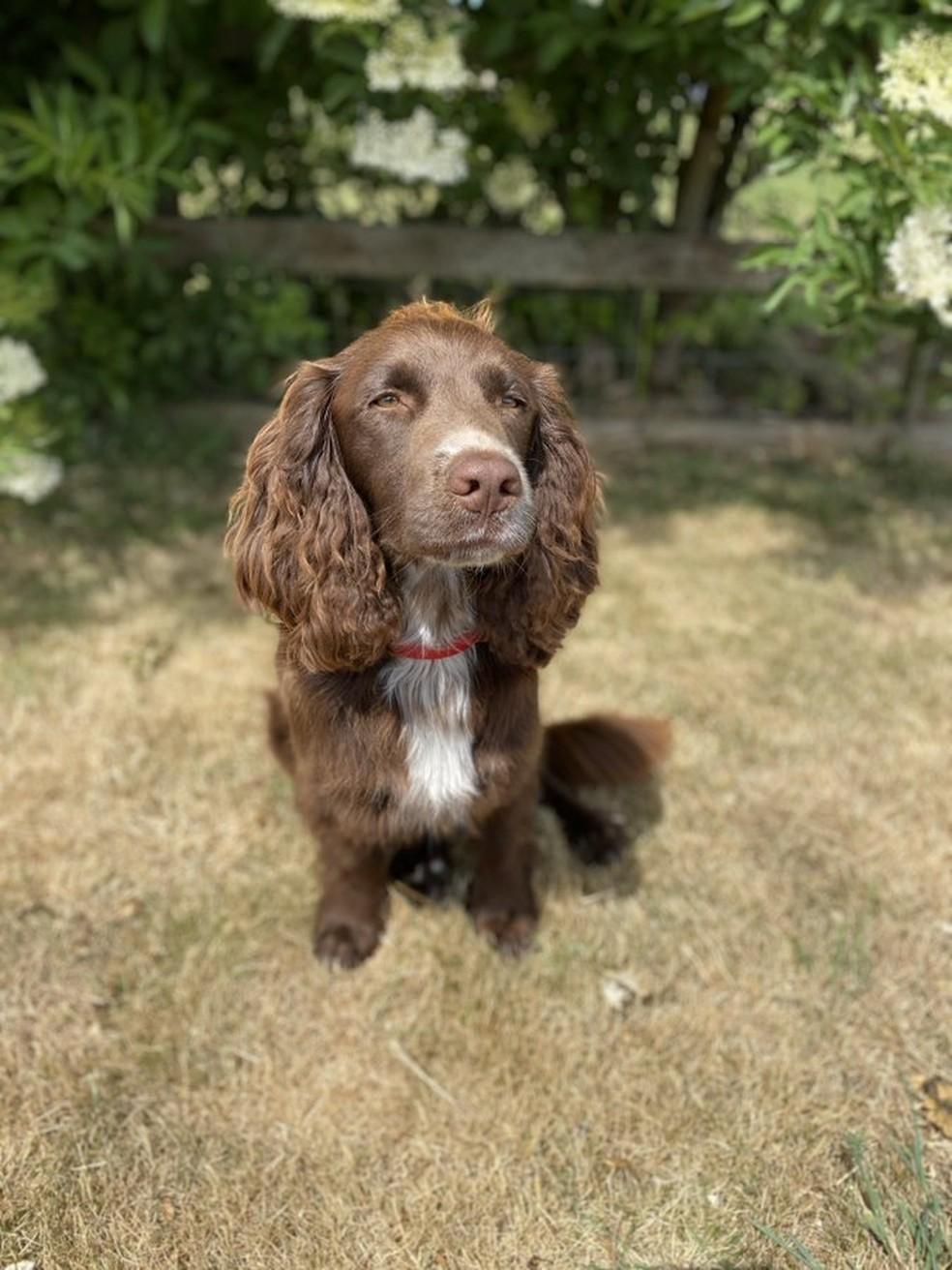 Norman é um dos seis cachorros em treinamento para detectar a Covid-19 — Foto: Twitter Medical Detection Dogs