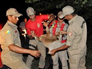 Bombeiros mobilizam animal para devolvê-lo para floresta (Fot Vanísia Nery/G1)