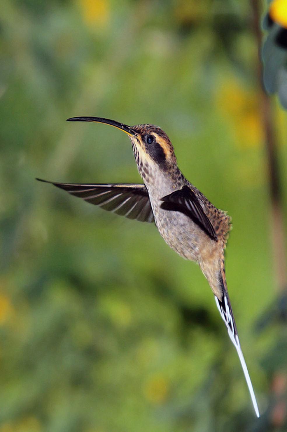 A delicadeza do beija-flor eternizada em um clique: registrar a natureza faz bem  — Foto: Roberto Gallacci/Arquivo Pessoal