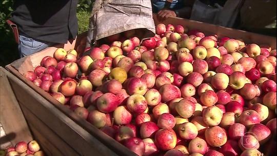Início da colheita de maçã em Santa Catarina tem queda na produção