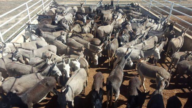 Jumentos reunidos para abate em frigorífico em Miguel Calmon (BA), em imagem de 2016, quando Ministério Público chegou a suspenter a atividade (Foto: DIVULGAÇÃO/AGORA NA BAHIA)