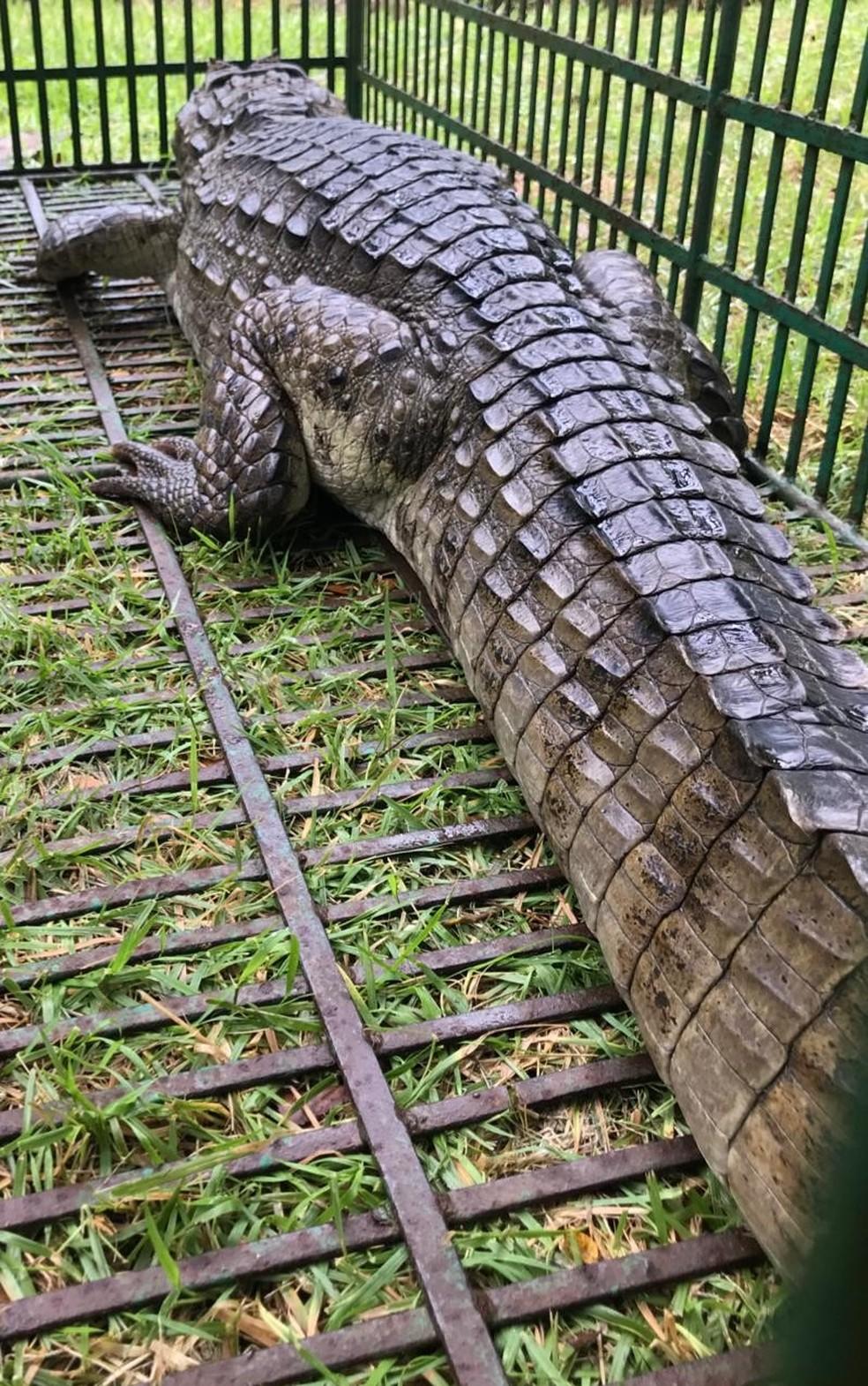 jacaré encontrado em Natal mede 1,70 metros e pesa 35 quilos — Foto: Redes sociais