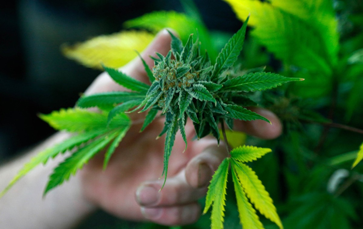 Cannabis pode aliviar a dor, mas há incertezas sobre riscos, diz estudo