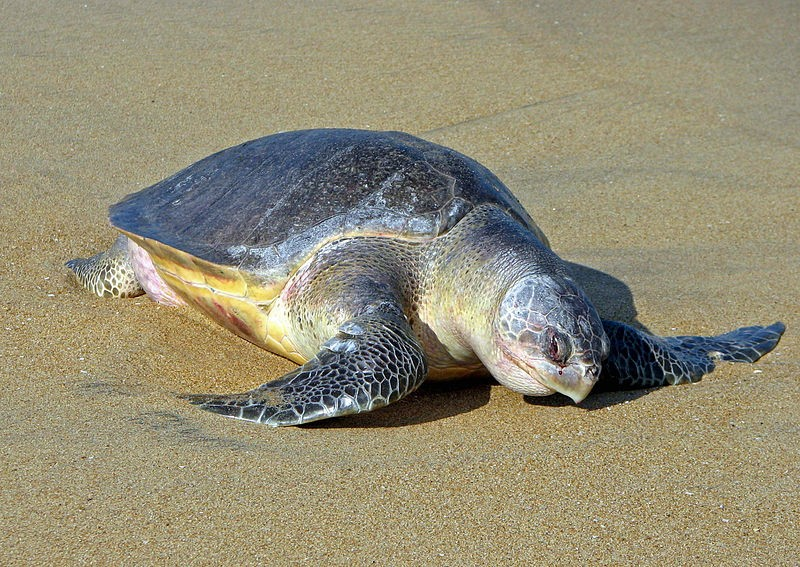 102 tartarugas mortas eram da espécie Lepidochelys olivacea (Foto: Bernard Gagnon/Wikimedia Commons)