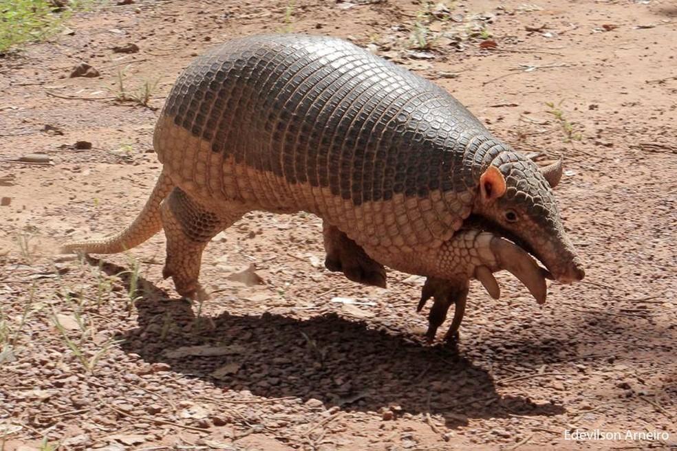 Ameaçado de extinção, tatu gigante é flagrado passeando em avenida ...