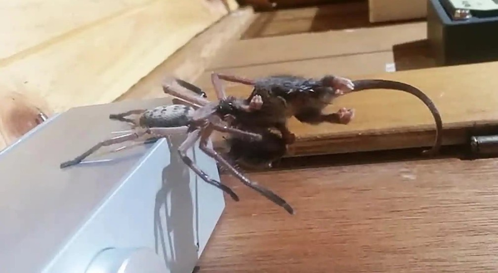Aranha devora gambá-pigmeu na Austrália — Foto: Justine Latton
