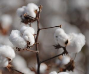 Aperto na oferta deve fazer preço do algodão disparar, projeta banco