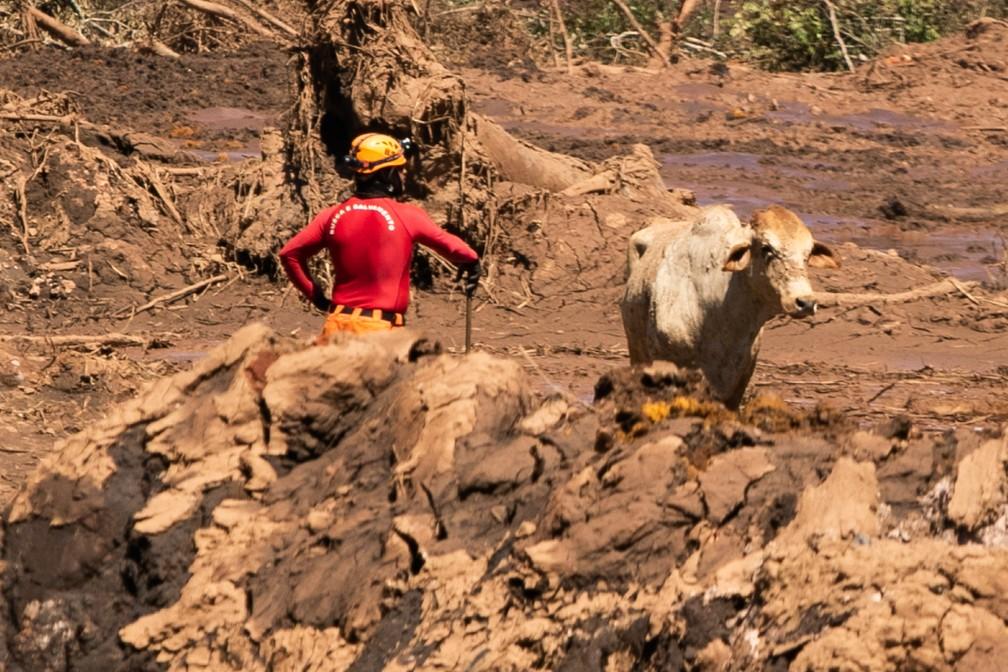 Bombeiro trabalha no resgate de uma vaca nesta terça (29), 5º dia de buscas em Brumadinho — Foto: Giazi Cavalcante/Código19/Estadão Conteúdo
