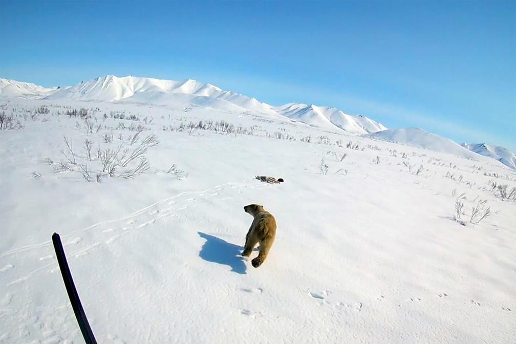 Urso polar corre na neve após ser libertado na região de Chukotka, no extremo leste da Rússia — Foto: AP Photo