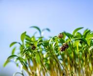 Microverdes: o que são e como cultivá-los em casa