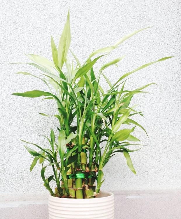 O bambu dentro de casa é bem fácil de cuidar, mas requer atenção (Foto: Getty Images/ Reprodução)