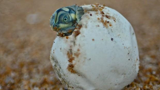Estudo aponta cerca de 2.000 ninhos de tartaruga nas praias às margens do rio Juruá, na Amazônia (Foto: CAMILA FERRARA)