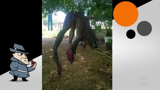 Descubra se rã gigante que aparece em foto na web existe mesmo