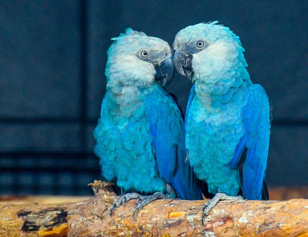 Arara-azul (Cyanopsitta spixii) da Association for the Conservation of Threatened Parrots. — Foto: Patrick Pleul/dpa-Zentralbild/dpa Picture-Alliance/via AFP