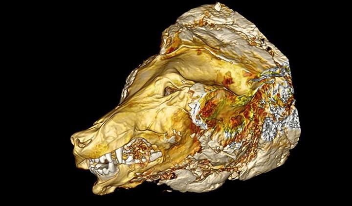 tomografia computadorizada  do lobo de 40 mil anos  cuja cabeça foi encontrada  em Yakutia, na Rússia. (Foto: NAO Foundation/ Cave Lion Research Project )