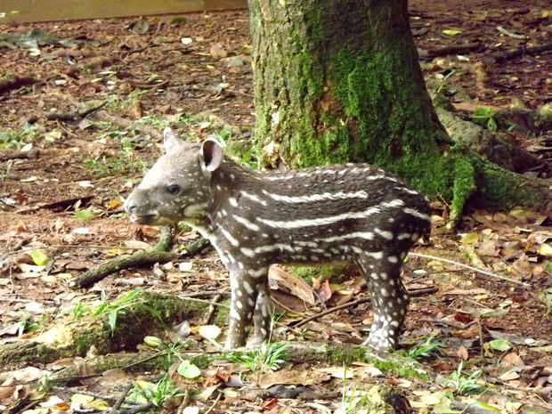 Filhote tem acompanhamento de veterinários do Parque Zoobotânico de Carajás (Fot Divulgação/ Parque Zoobotânico Vale)