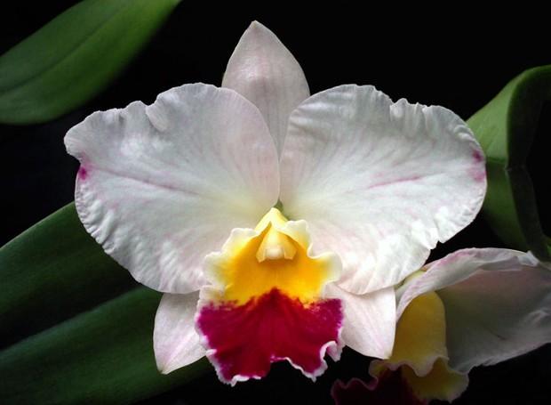 Orquídea Sophrocattleya Mini Collins 'Pink Sherbet'  (Foto: Foto: Sergio Oyama Junior/Divulgação)