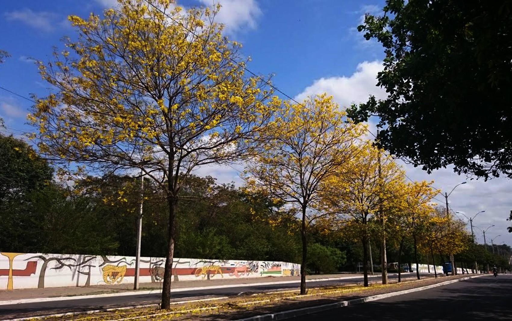 Ipês se adaptam ao meses de baixa umidade e florescem no Piauí; saiba mais sobre a árvore