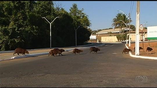 Pesquisadores querem fazer estudo sobre a população de capivaras em Catalão, GO