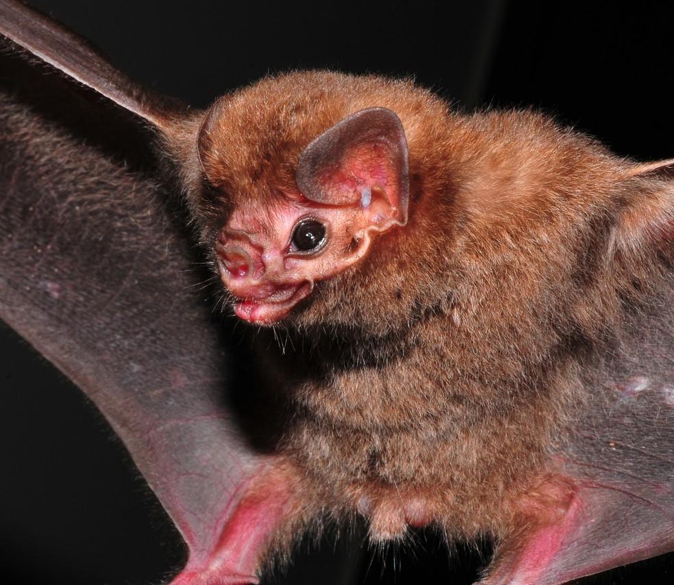 Morcego-vampiro-de-pernas-peludas se alimenta de sangue de aves de médio e grande porte (Foto: Vinícius C. Cláudio)