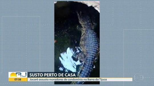 Jacaré 'passeia' em bueiro de condomínio na Barra da Tijuca