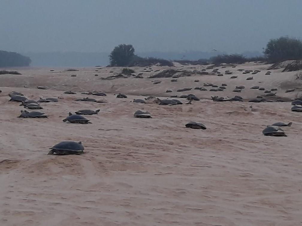 Tartarugas desovam às margens do São Francisco do Guaporé.  — Foto: Divulgação/Ecovale